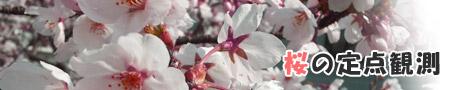 桜の定点観測