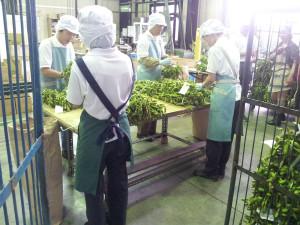 黒枝豆の出荷作業の様子