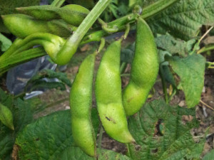 大きな枝豆!